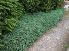 Можжевельник горизонтальный Вилтони <br>Ялівець горизонтальний Вілтоні<br>Juniperus horizontalis Wiltonii