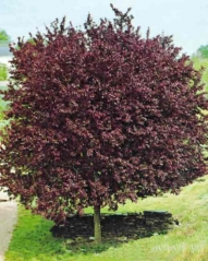 Prunus cerasifera 'Pissardii' летом