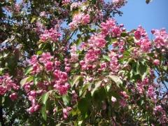 Яблоня Недзвецкого цветы