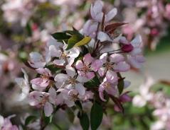 Яблоня Недзвецкого - цветение