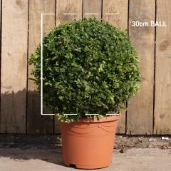 Самшит вечнозелёный Шар <br>Самшит вічнозелений Куля<br>Buxus sempervirens Ball