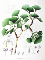 Гинкго двулопастное (билоба)
