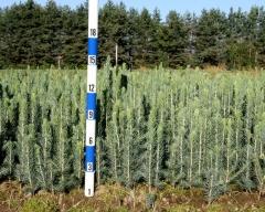 Picea Pungens Glauca 'Kaibab', 'Arizona' Высадка из семян