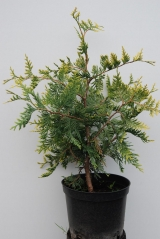 Туя западная Ауреоспиката / Thuja occidentalis Aureospicata