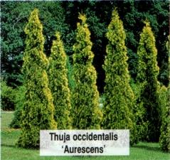 Туя западная Ауресценс <br>Туя західна Ауресценс <br>Thuja occidentalis Aurescens