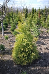 Thuja occidentalis Aurescens 7 апреля