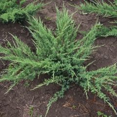 Можжевельник казацкий Глаука <br>Ялівець козацький Глаука  <br>Juniperus sabina Glauca