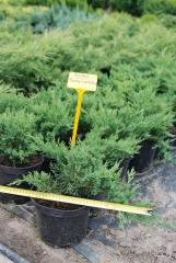 Можжевельник казацкий Тамарисцифолия / Juniperus sabina Tamariscifolia