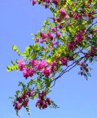 Robinia margaretta Casque Rouge