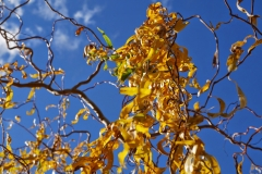 Ива извилистая осенью