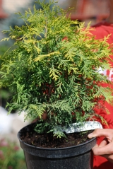Thuja occidentalis Golden Globe описание