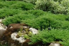 Juniperus media pfitzeriana Mint Julep