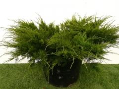 Juniperus media 'Mint Julep'
