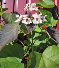 Катальпа червоніюча Purpurea