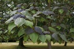 Catalpa Purpurea