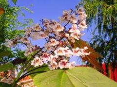 Катальпа краснеющая Пурпуреа соцветие