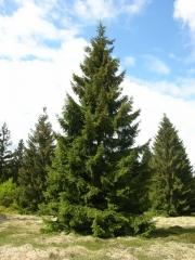 Ель обыкновенная / европейская Эксцелса <br>Ялина звичайна / європейська Ексцелса <br>Picea abies Excelsa