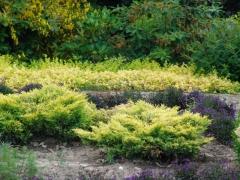 Juniperus horizontalis Limeglow