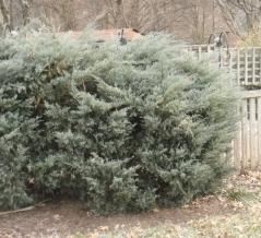 Можжевельник виргинский Грей Оул <br>Ялівець віргінський Грей Оул <br>Juniperus virginiana Grey Owl