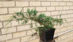 Juniperus virginiana Grey Owl 3 года (сентябрь)