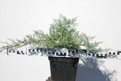 Можжевельник виргинский Грей Оул / Juniperus virginiana Grey Owl 3 года