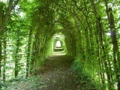 Живая изгородь Граб обыкновенный туннель