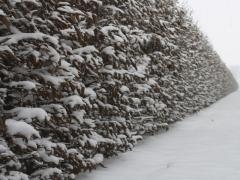 Граб обыкновенный зима