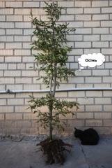 Carpinus betulus с комом