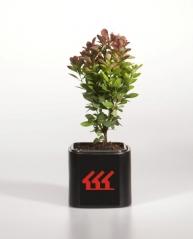 Барбарис 'Red Rocket' питомник растений возраст 2 года