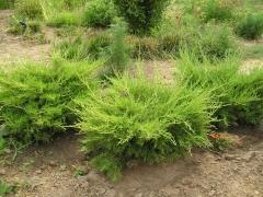 Juniperus media 'Mordigan Gold'