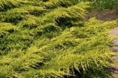 Juniperus pfitzeriana 'Mordigan Gold'
