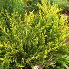 Juniperus media pfitzeriana Mordigan Gold