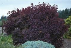 Скумпия кожевенная Роял Пёрпл <br>Cotinus coggygria Royal Purple (Smoke tree)<br>Скумпія шкіряна Роял Перпл