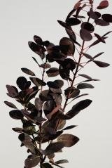 Скумпия кожевенная Роял Пёрпл  Cotinus coggygria Royal Purple