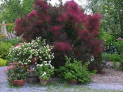 Cotinus coggygria 'Royal Purple' (Smoke tree)