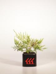 Juniperus media Kuriwao Gold 2 года