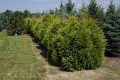 Juniperus chinensis/pfitzeriana/media Kuriwao Gold
