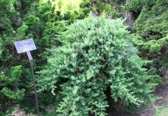 Можжевельник прибрежный Блю Пасифик <br>Ялівець береговий Блю Пасіфік <br>Juniperus conferta Blue Pacific