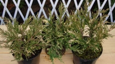 Juniperus horizontalis Andorra Variegata