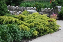 Juniperus pfitzeriana Gold Coast