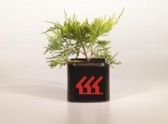 Juniperus 'Gold Coast' посадка