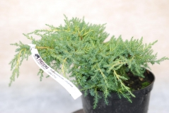Можжевельник пфитцериана (средний) Голд Стар / Juniperus pfitzeriana (media) Gold Star