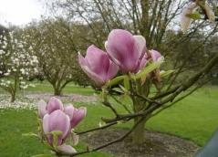 Магнолия суланжа Рустика Рубра <br>Магнолія суланжа Рустіка Рубра <br>Magnolia soulangeana Rustica Rubra