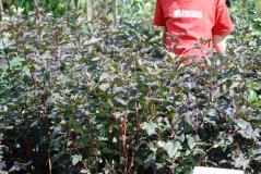 Пузыреплодник калинолистный Диаболо / Physocarpus opulifolius Diabolo / Пухироплідник калинолистий Діаболо