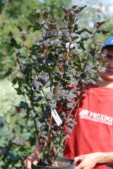 Physocarpus opulifolius Diabolo 5 лет (сентябрь)