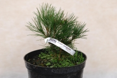 Сосна белокорая / Pinus leucodermis / Сосна білокора