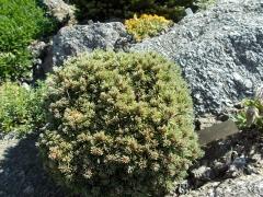 Сосна горная пиренейская