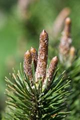 Сосна Пиренейская Pinus uncinata