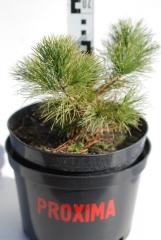 Сосна македонская Pinus peuсe