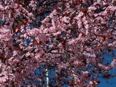 Слива краснолистная Нигра цветение